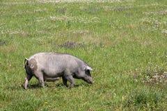 черная свинья Стоковые Фото