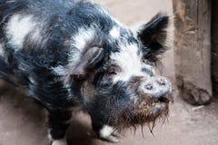 черная свинья стоковые изображения