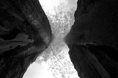 Черная секвойя Стоковое Изображение RF