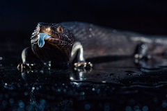 Черная синь сказала ящерицу с насмешкой в темном сияющем environement Стоковое фото RF