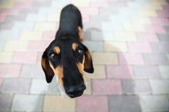Черная смешная собака Стоковые Изображения RF