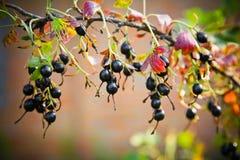Черная смородина на ветви в саде Стоковые Изображения