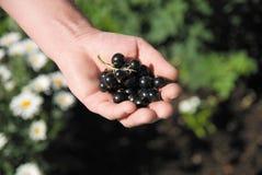 черная смородина ягод стоковое фото rf