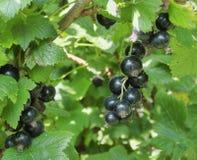 Черная смородина в запачканных зеленых листьях Стоковые Фотографии RF