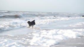Черная собака бежит после того как ручка в море, узнает и принимает волны и пену видеоматериал