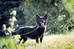 Черная собака внешняя в траве лужайки зеленого цвета леса лета Стоковое Изображение RF
