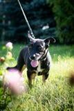 Черная собака внешняя в траве лужайки зеленого цвета леса лета Стоковое фото RF