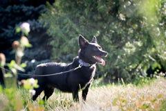 Черная собака внешняя в траве лужайки зеленого цвета леса лета Стоковая Фотография