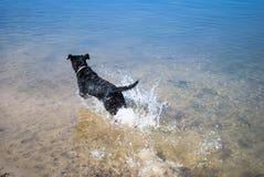 Черная собака в воде Стоковые Фото