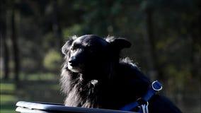 Черная собака в парке Volkspark Rehberge ` s людей в Берлин-свадьбе, Германии сток-видео