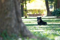 черная собака играя в зеленом саде Стоковое Изображение