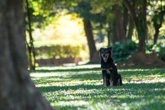 черная собака играя в зеленом саде Стоковое Фото