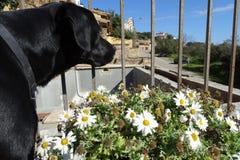 Черная собака и маргаритка цветут подробно Стоковое Изображение RF