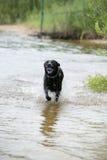 Черная собака Лабрадора играя в воде Стоковые Изображения RF