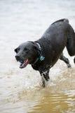 Черная собака Лабрадора играя в воде Стоковая Фотография