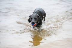 Черная собака Лабрадора играя в воде Стоковые Фотографии RF