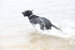 Черная собака Лабрадора сидя на береге пруда Стоковое Изображение