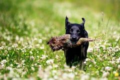Черная собака Лабрадора с фазаном стоковое изображение