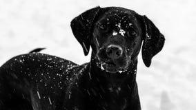 Черная собака Лабрадора хотеть сыграть в снеге стоковая фотография rf