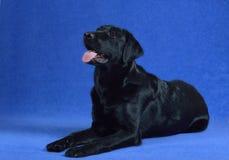 Черная собака Лабрадора! Стоковые Фото