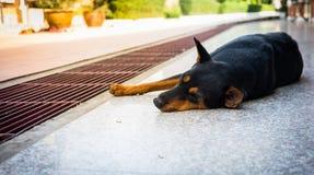 Черная собака лежа вниз на поле Стоковое Изображение