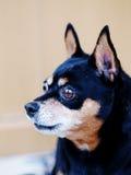 Черная собака миниатюрного pinscher Стоковое Фото