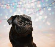 Черная собака мопса с светами рождества Стоковое Изображение RF
