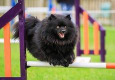 Черная собака наслаждаясь подвижностью Стоковые Фото