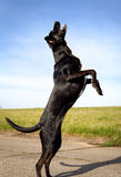 Черная собака на задних ногах Стоковое Изображение