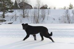 Черная собака на снеге. Стоковые Фото