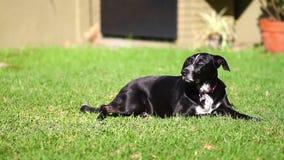 Черная собака на траве акции видеоматериалы