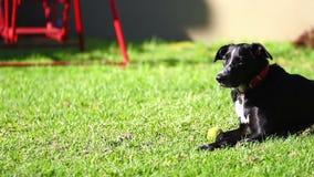 Черная собака на траве видеоматериал