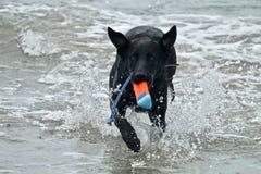Черная собака немецкой овчарки выручая игрушку на пляже собаки Стоковые Изображения RF