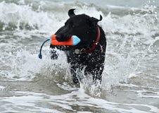 Черная собака немецкой овчарки выручая игрушку на пляже собаки Стоковые Фото