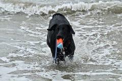 Черная собака немецкой овчарки выручая игрушку на пляже собаки Стоковые Изображения