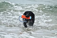 Черная собака немецкой овчарки выручая игрушку на пляже собаки Стоковая Фотография RF