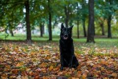 Черная собака немецкой овчарки сидя на траве рот открытый листья осени в предпосылке стоковые изображения