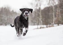 Черная собака остолопа снаружи в снеге зимы стоковое изображение