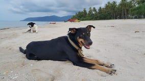 Черная собака отдыхает на пляже счастливо Стоковые Фотографии RF
