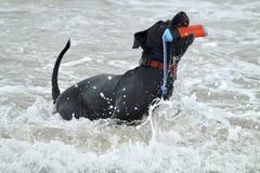 Черная собака питбуля выручая игрушку из воды Стоковое Изображение RF