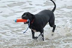 Черная собака питбуля выручая игрушку на пляже собаки Стоковые Изображения