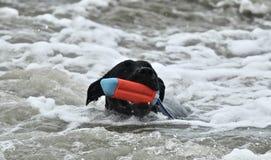 Черная собака питбуля выручая игрушку на пляже собаки Стоковое Изображение