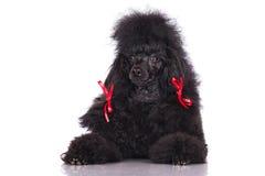 Черная собака пуделя Стоковые Изображения