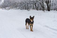 Черная собака стоя на снежной дороге земли смотря вокруг Стоковая Фотография