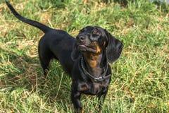 Черная собака таксы на травянистой земле Стоковые Изображения
