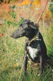 Черная собака шавки с белыми грудями стоковая фотография rf
