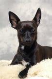 Черная собака щенка Стоковое Изображение RF