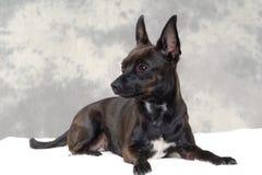 Черная собака щенка Стоковое Изображение
