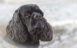 черная собака Стоковое Изображение