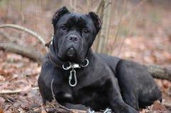 черная собака Стоковое Изображение RF